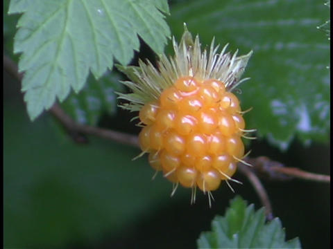 A yellow berry hangs on a tree or bush in the forest Stock Video Footage