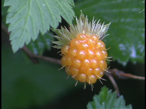 A yellow berry hangs on a tree or bush in the forest Footage