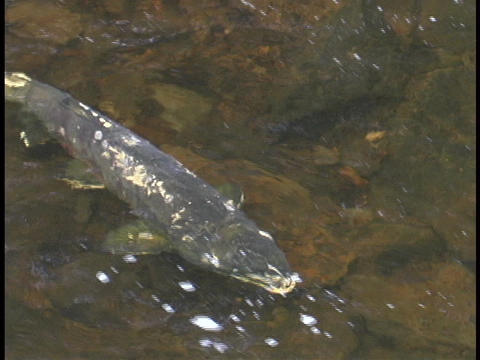 salmon swim up stream Stock Video Footage