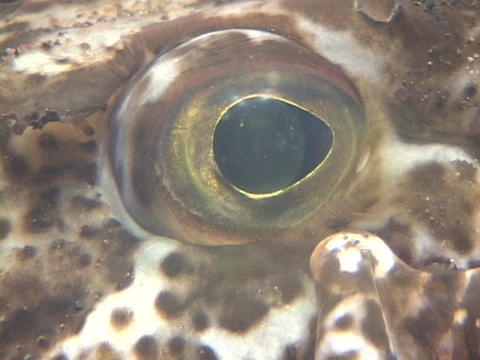 A speckled fish's eye looks around Stock Video Footage