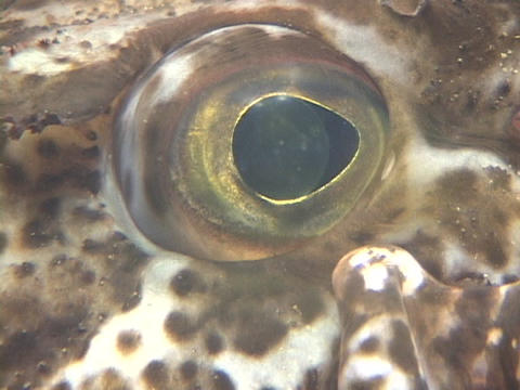 A speckled fish's eye looks around Footage