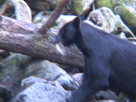 A bear uses his face to catch a salmon out or a river Footage