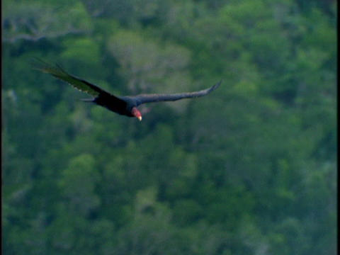 A black turkey buzzard flies above the treetops Stock Video Footage