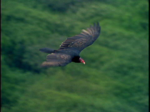 A black turkey buzzard flies above the treetops Footage