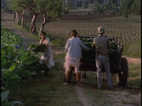 Three Cuban farm workers load tobacco into a horse drawn cart Footage