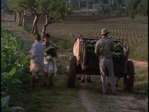 Three Cuban farm workers load tobacco into a horse drawn... Stock Video Footage