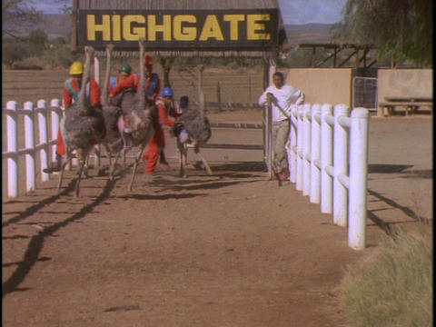 Men in hard hats and orange jumpsuits race on ostriches Stock Video Footage