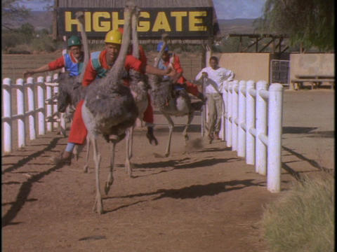 Men in hard hats and orange jumpsuits race on ostriches Footage