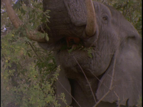 An African elephant eats leaves from a tree Stock Video Footage