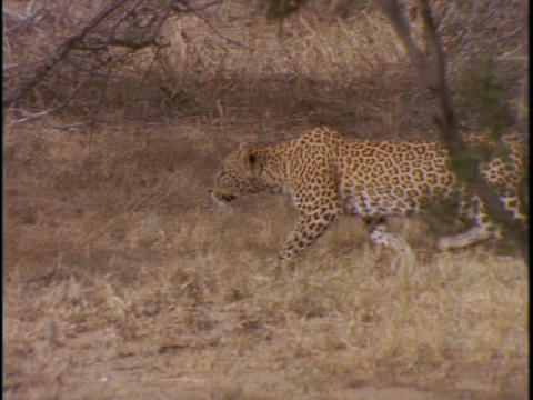A cheetah stalks through the grass Stock Video Footage