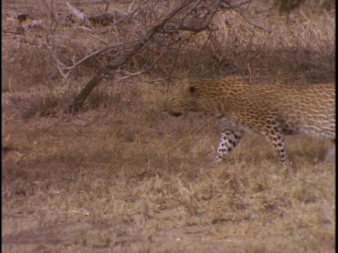 A cheetah stalks through the grass Stock Video Footage