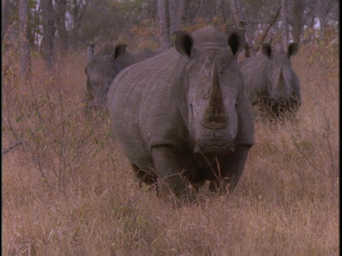 Three rhinos walk together in tall grass Stock Video Footage