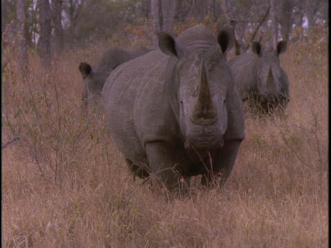 Three rhinos walk together in tall grass Footage