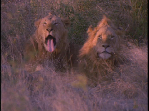 lions sitting in the high grass on plains of Africa Stock Video Footage