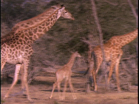 A herd of giraffe walk through sparse trees Live Action