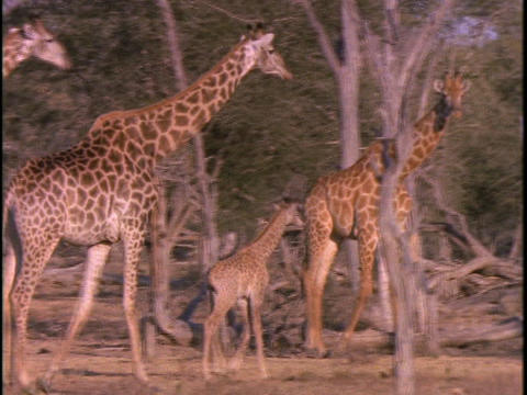 A herd of giraffe walk through sparse trees Stock Video Footage