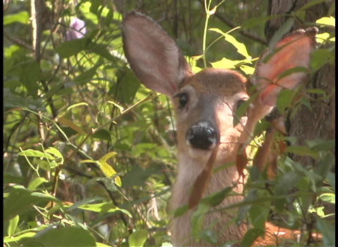 A fawn deer turns its head to look directly into the camera Footage