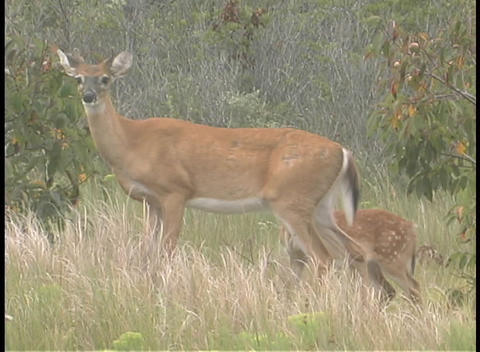 A White-Tailed fawn stands motionless as his mother walks... Stock Video Footage