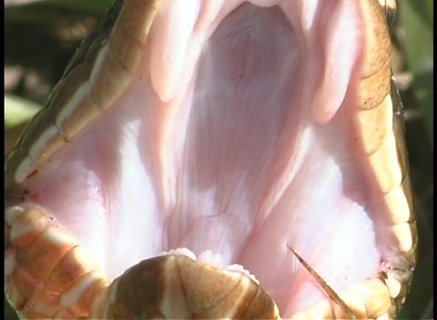 A snake opens its mouth to show its fangs Stock Video Footage