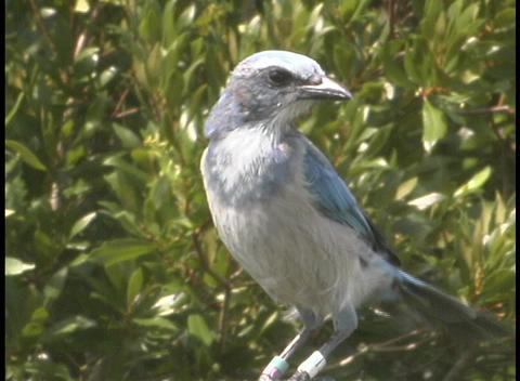 A Bluish-gray Bird Puffs Up Its Chest And Ruffles Its Feather As It Perches On A Branch stock footage