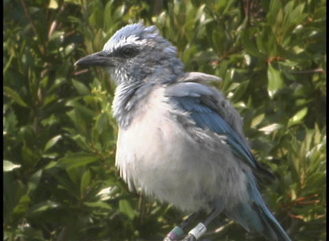 A bluish-gray bird puffs up its chest and ruffles its... Stock Video Footage