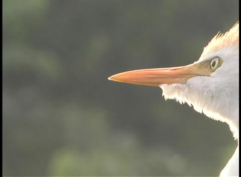 A large white bird make noises with its throat as it... Stock Video Footage