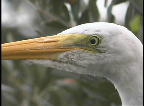 A white bird with a yellow beak stares off into the distance Stock Video Footage