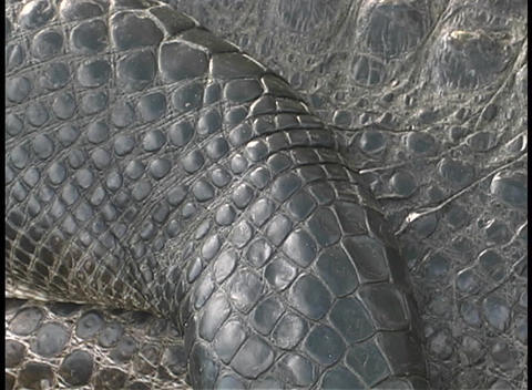 A crocodile lies motionless for a close-up of its scaly skin Footage