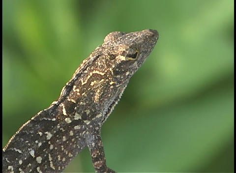 A lizard's red and green throat sac expands as it breathes Stock Video Footage