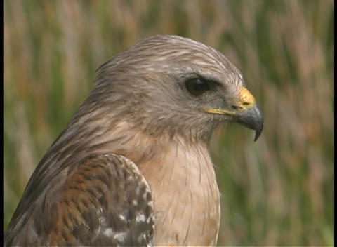 A hawk turns its head and then looks away Stock Video Footage