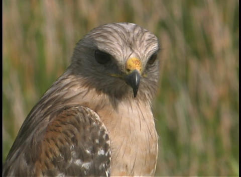 A hawk turns its head and then looks away Footage