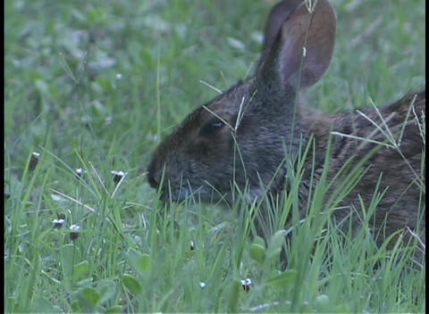 A black rabbit nibbles on grass as it lies in a field Stock Video Footage