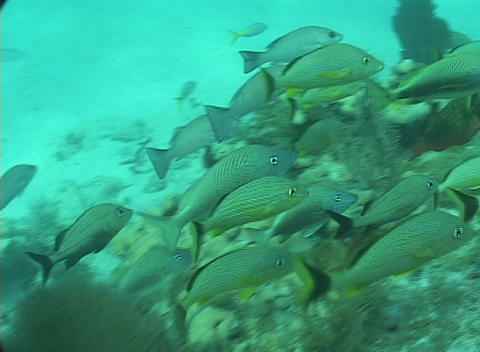 A school of tropical fish swim near the ocean floor Footage