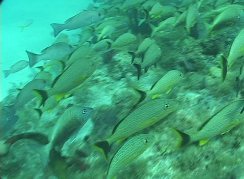 A school of tropical fish swim near the ocean floor Stock Video Footage