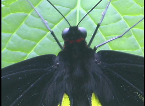 A black and yellow butterfly hangs motionless from a green leaf Footage