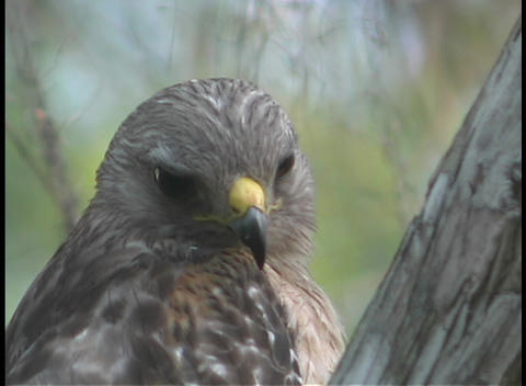 A brown hawk turns its head rapidly as it surveys its... Stock Video Footage