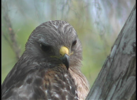 A brown hawk turns its head rapidly as it surveys its surroundings Footage