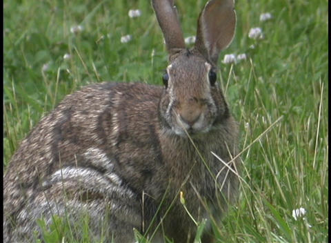A jack rabbit watches for danger in the tall grass Stock Video Footage