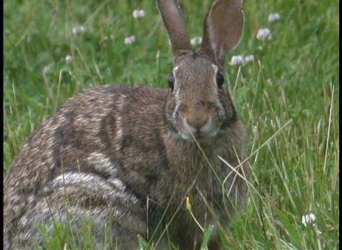 A jack rabbit watches for danger in the tall grass Footage