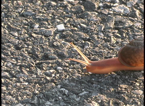 A snail crawls slowly across the rocky ground Stock Video Footage
