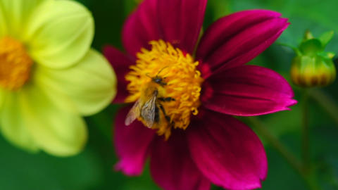Bumblebee on dahlia flower Live Action