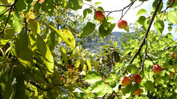 Apricots fruit hanging at branch of tree in a plantation Footage