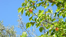 Apricots fruit hanging at branch of tree a sunny day Footage