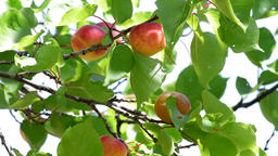 Apricots fruit hanging at branch a sunny day Footage