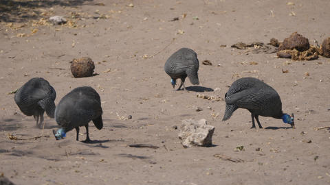 Guinea Fowl in Chobe National Park Footage