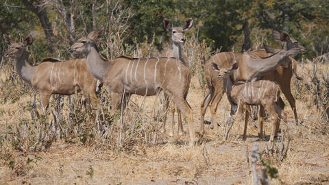 Kudu in Chobe National Park Footage
