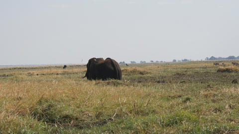 Elephant in Chobe National Park Footage