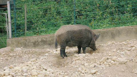 Wild Boar Looking For Food Live Action