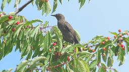 Common Blackbird On The Cherries Footage