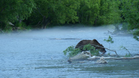 Kamchatka bear with caught salmon Footage